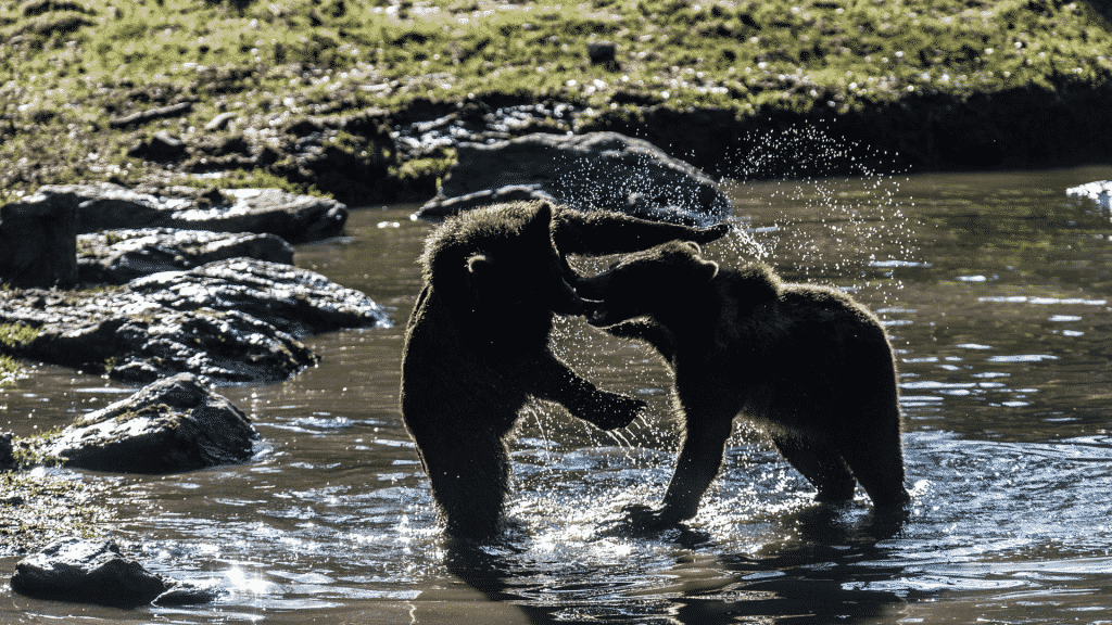 Two bears fighting in a river